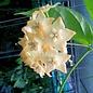 Hoya sp. linusii