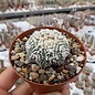 Astrophytum asterias cv. Hanazono 1a
