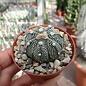 Astrophytum-Hybr. CAPAS B-Flower