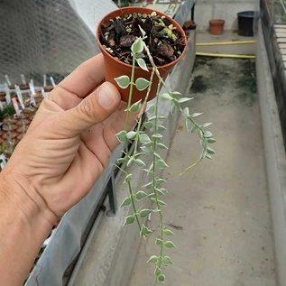 Dischidia ruscifolia cv. variegata