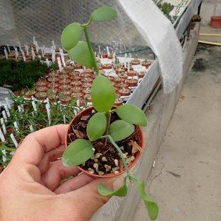 Dischidia singularis Apple Leaves