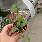 Dischidia singularis cv. Apple Leaves