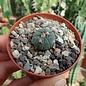 Echinocactus horizonthalonius ssp. subikii