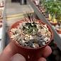 Echinocereus viridiflorus ssp. davisii SB 426 Brewster Co. Tx