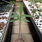 Euphorbia tanquahuete