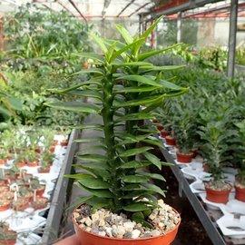 Pedilanthus tithymaloides cv. compacta