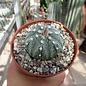 Astrophytum asterias-Hybr. B-Flower