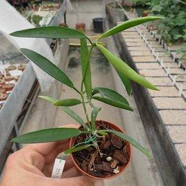 Dischidia sp.Philippines cv. Red Flower