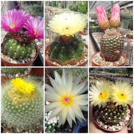Assortment Parodia & Notocactus