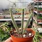 Aporocactus cv. Gigant