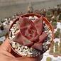 Echeveria agavoides cv. Romeo