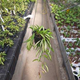 Hoya kentiana variegata