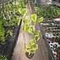 Hoya kerrii cv. Albo-marginata