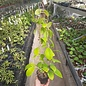 Hoya mindorensis  PG 012