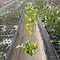 Hoya carnosa tricolor