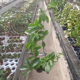 Hoya carnosa cv. Krimson