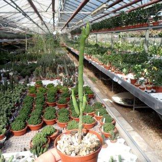 Euphorbia gregaria