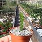 Euphorbia grandidens