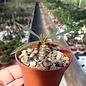 Euphorbia horombensis   Plateaux Horombe, Madagaskar