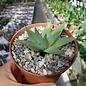 Aloe polyphylla Spiral-Aloe  Lesoto, Südafrika   CITES, not outside EU