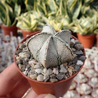 Astrophytum Supercoahuilense