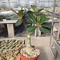 Adenium obesum cv. Chocolate Leaf   gepfr.