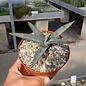 Agave cv. nigra