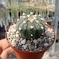 Astrophytum asterias cv. Rubriflora     CITES, not outside EU