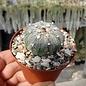 Astrophytum-Hybr. CAPAS/COAS X Super Kabuto B-Flower