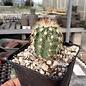Echinocereus X roetteri       (dw)