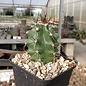 Echinocereus coccineus v. paucispinus      (dw)