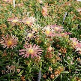 Delosperma cv. Kelardis       (dw)
