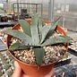 Agave parryi v. chihuahuensis      (dw)