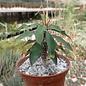 Euphorbia antafikiensis-Hybr.