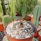 Euphorbia brunellii  RM 183