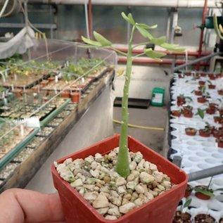 Adenia venenata   tropisches Afrika