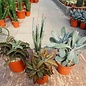 Offer of the month Kalanchoe and Senecio