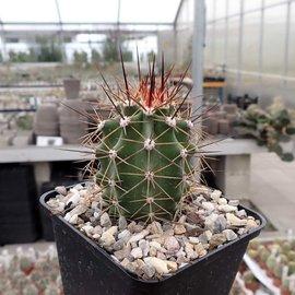 Echinocereus x roetteri  HK     (dw)