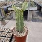 Euphorbia ingens cv. marmorata