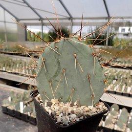 Opuntia macrocentra f. Nevada      (dw)