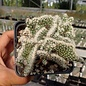 Corynopuntia clavata cv. Wicky    cristata  (dw)