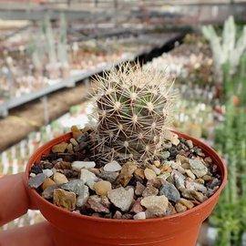 Weingartia pucarensis  HJ1201