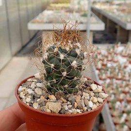 Turbinicarpus pseudomacrochele v. Cardonal     CITES, not outside EU