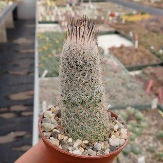 Gymnocactus subterraneus v. zaragossae     CITES, not outside EU