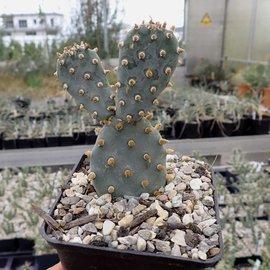 Opuntia basilaris v. brachyclada SB      (dw)