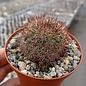 Mammillaria sylvatica