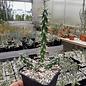 Cylindropuntia imbricata cv. Marco  Cibola Co., New Mexico    (dw)