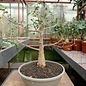 Bursera fagaroides    Arizona, NW-Mexiko