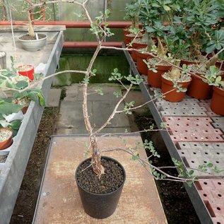 Commiphora sp.   S-Ampanihy, Madagaskar