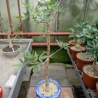 Bursera lancifolia   Guerrero, La Loja, Puebla, Mexiko